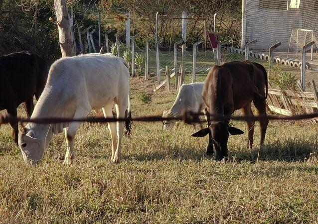A suspeita de um caso de vaca louca em um frigorífico de Belo Horizonte (MG) paralisou o comércio internacional de boi gordo, 2 de setembro de 2021