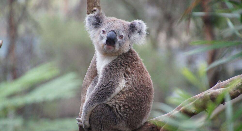 Coala (imagem referencial)