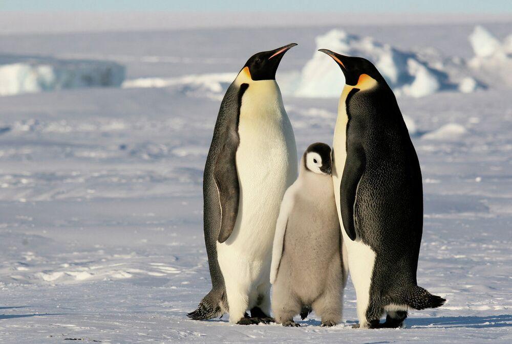 Pinguins-imperador na Antártida