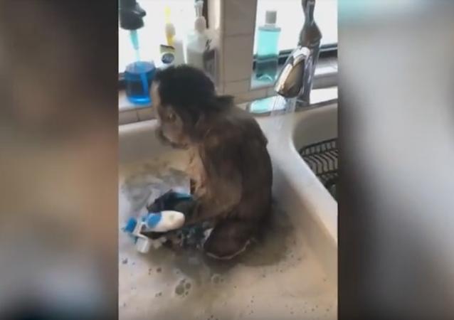 Macaco tomando banho na pia da cozinha