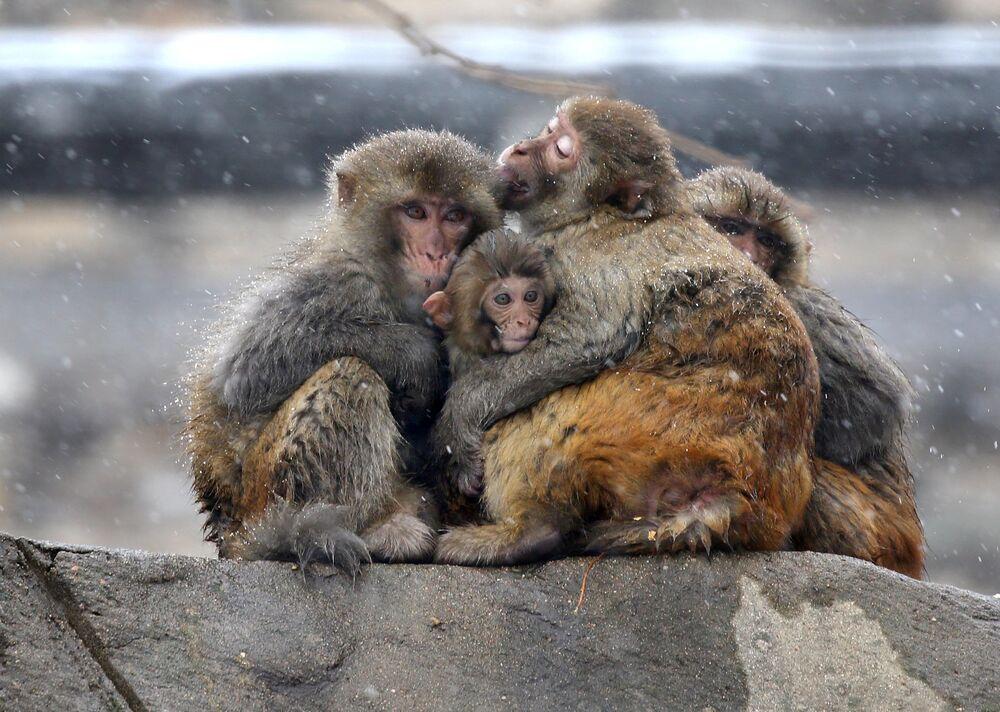 Macacos se abraçam durante nevasca no monte Huaguo, China