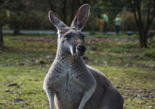 Canguru australiano (foto de arquivo)