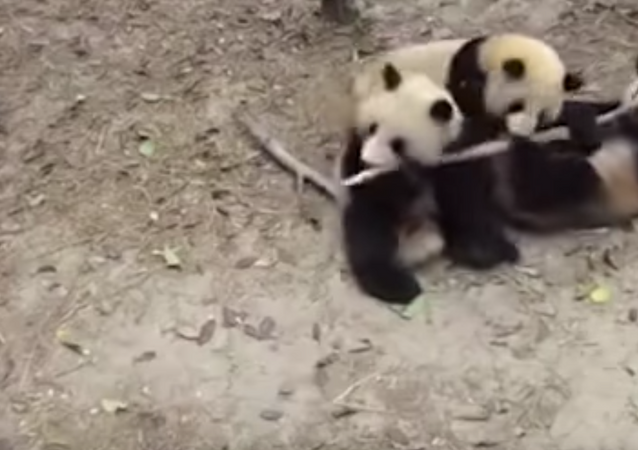 Panda cai de árvore e interrompe sexo de outros dois