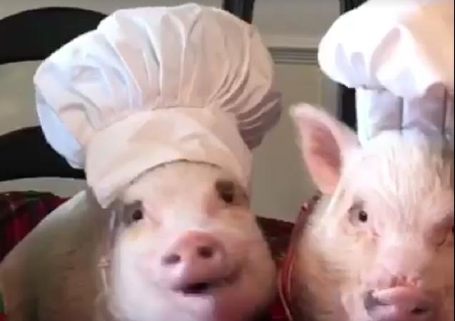 Porquinhos ajudam cozinhar