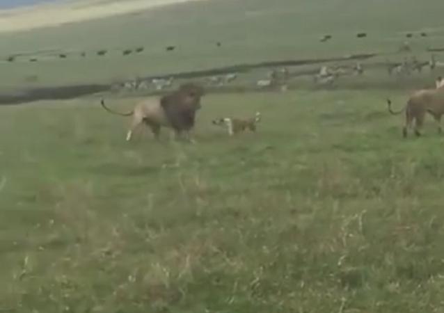 Cachorro ataca leões