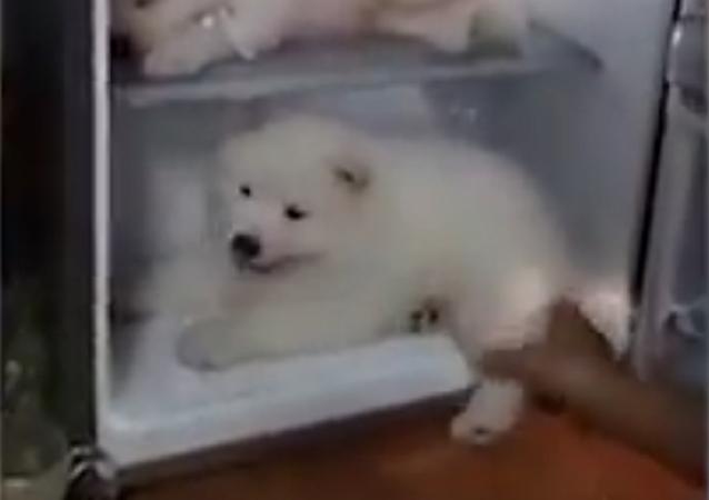 Cães em geladeira