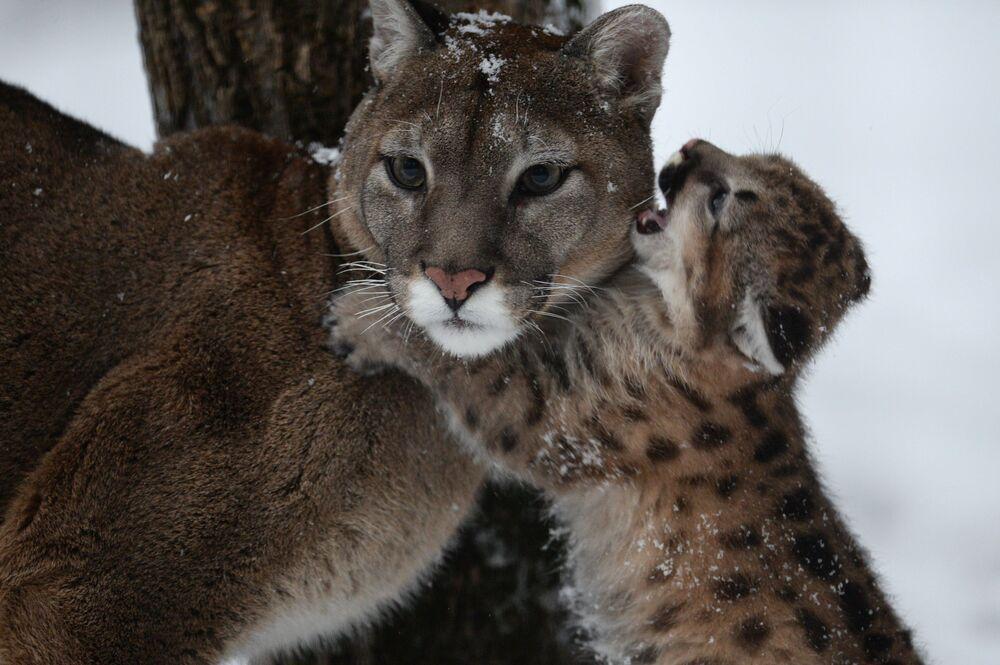Puma Milana com filhote recém-nascido no Jardim Zoológico de Novosibirsk