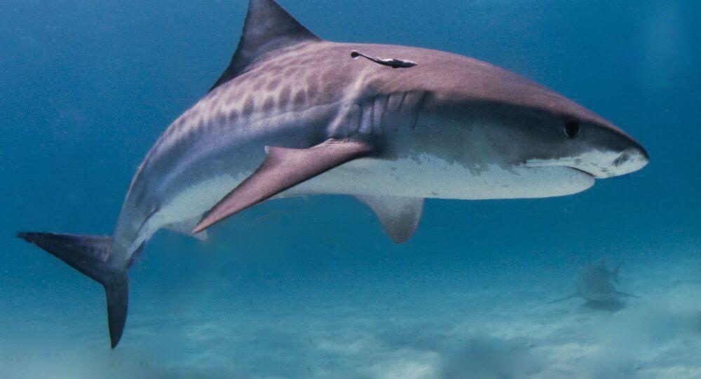 Um tubarão-tigre