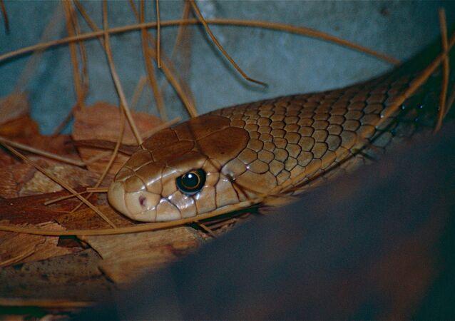 Pseudonaja textilis, cobra-marrom