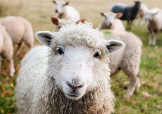 Ovelhas no campo
