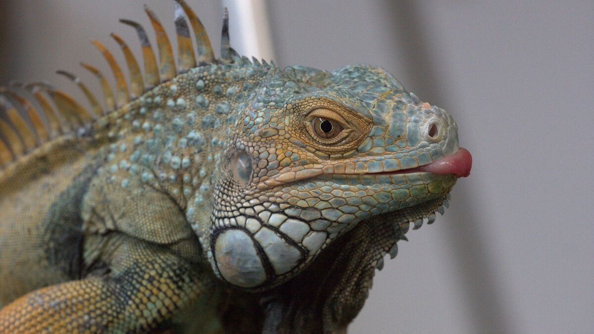 Australiano captura iguana de 1,5 metro debaixo da cama da criança (VÍDEO)  - Sputnik Brasil