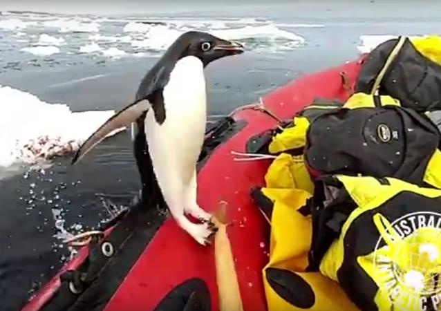 Pinguim aborda barco
