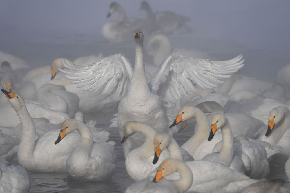 Cisnes-bravos passam o inverno no lago dos Cisnes, localizado na região russa de Altai