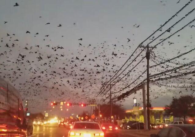 Milhares de pássaros no Texas