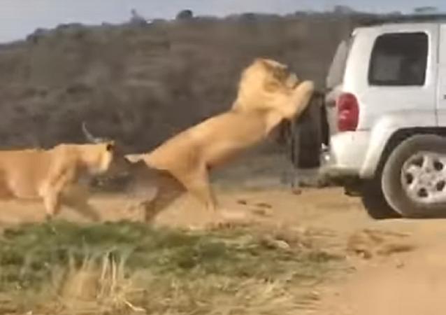 Leão empurra carro