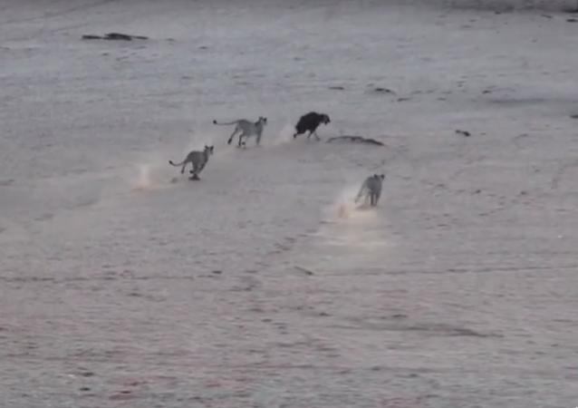 Leaos caçam hiena
