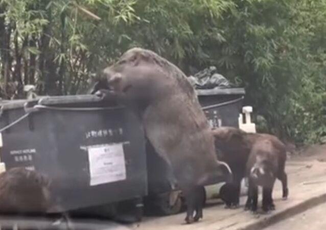 Javali gigante procura comida em lixeira de Hong Kong