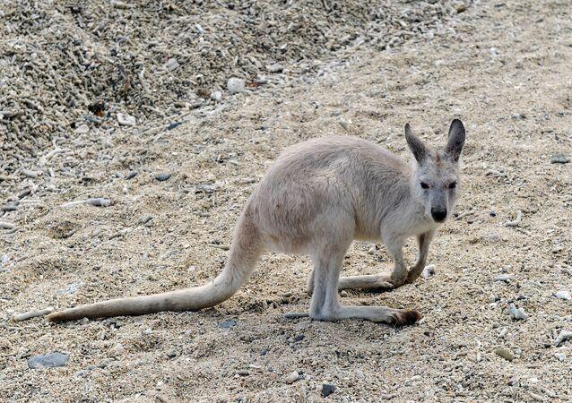 Um canguru (imagem referencial)