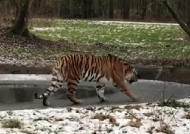 Tigre no parque natural Knuthenborg Safaripark (Dinamarca)