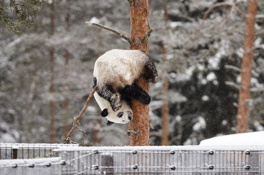 Panda Lumi pendurada em uma árvore em um zoológico na Finlândia