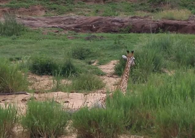 Batalha entre girafa e crocodilo tem fim inesperado