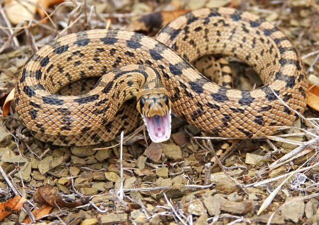 Cobra de boca aberta