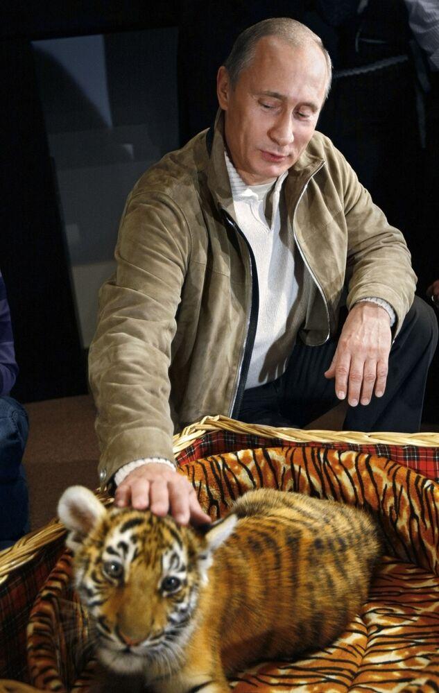 Vladimir Putin junto a um tigre-de-amur, que lhe foi oferecido em 2008