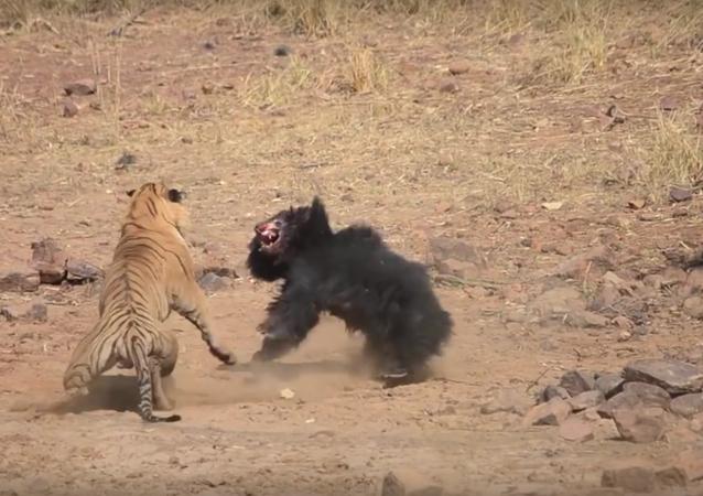 Luta entre tigre e urso no Parque Nacional de Tadoba (Índia)