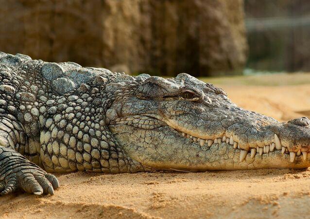 Crocodilo (imagem referencial)