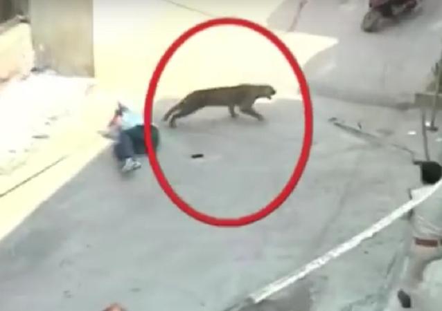 Leopardo se perde em cidade indiana e começa a atacar pessoas