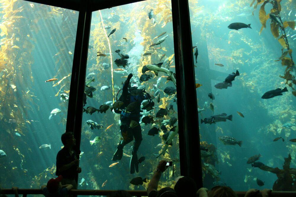 Nas águas da Califórnia pode-se encontrar a floresta de Kelp, formada por algas que podem crescer até 60 centímetros por dia