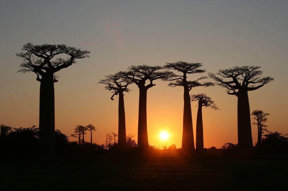 Madagascar é também conhecido por sua avenida dos Baobás. Estas árvores incomuns crescem ao longo do caminho entre as cidades de Morondava e Belon'i Tsiribihina, na região de Menabe