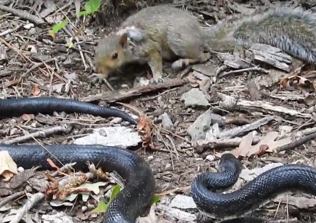 Batalha entre serpente e esquilo: quem sai vencedor?