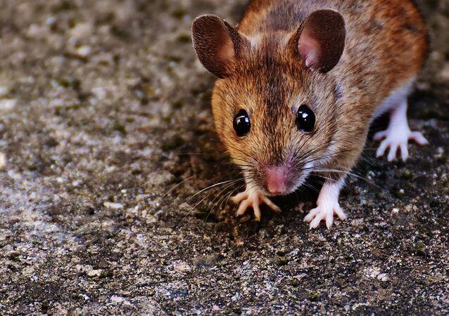 Rato (imagem ilustrativa)