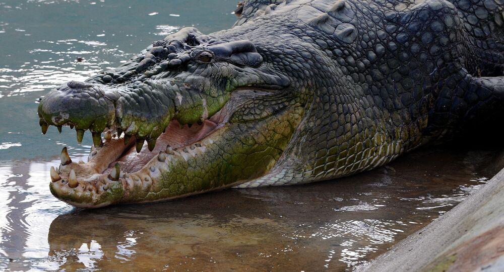 Crocodilo Lolong, capturado nas Filipinas em 2011