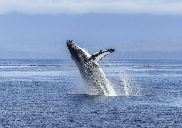 Baleia-jubarte (imagem referencial)