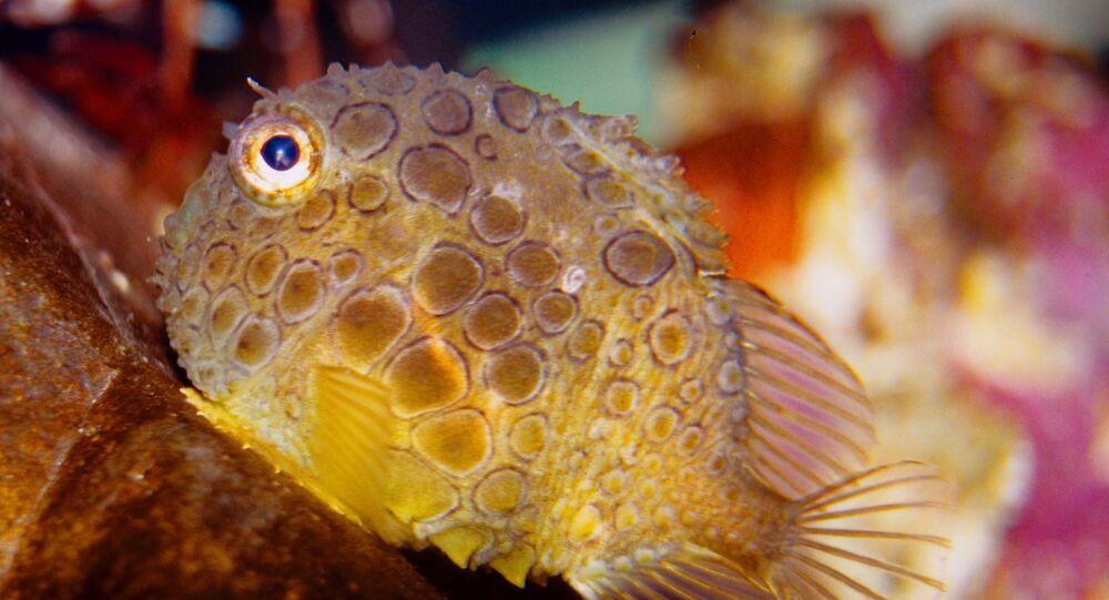 Peixe eumicrotremus orbis