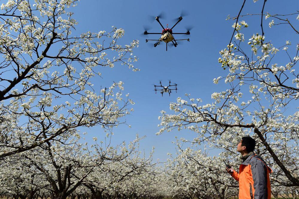 Drones usados para polinizar flores de pera são vistos em Cangzhou, na China