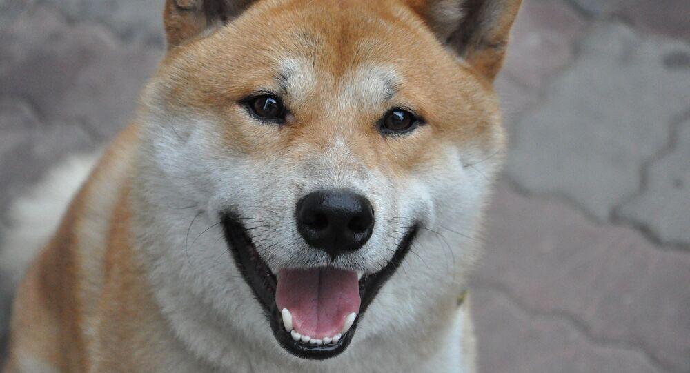 Cachorro da raça Shiba Inu