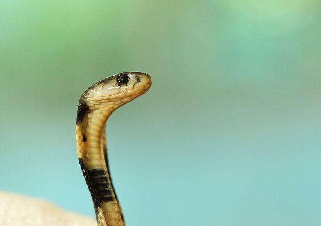 Uma serpente, imagem referencial