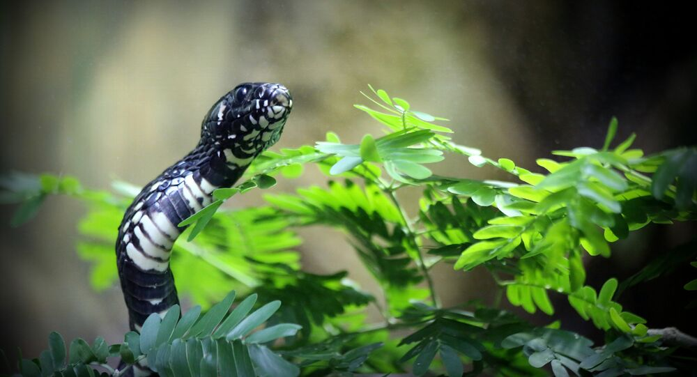 Serpente-tigre (imagem referencial)