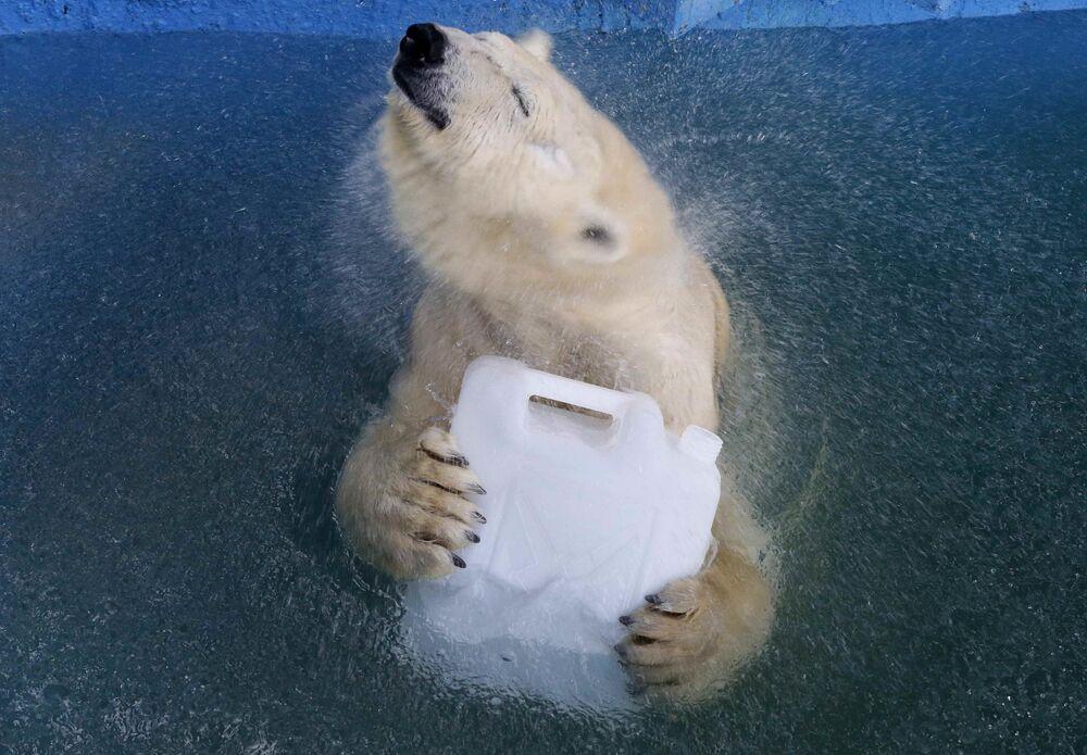 Ursa-polar Aurora brincando na piscina do zoológico Roev Ruchei na cidade russa de Krasnoyarsk.