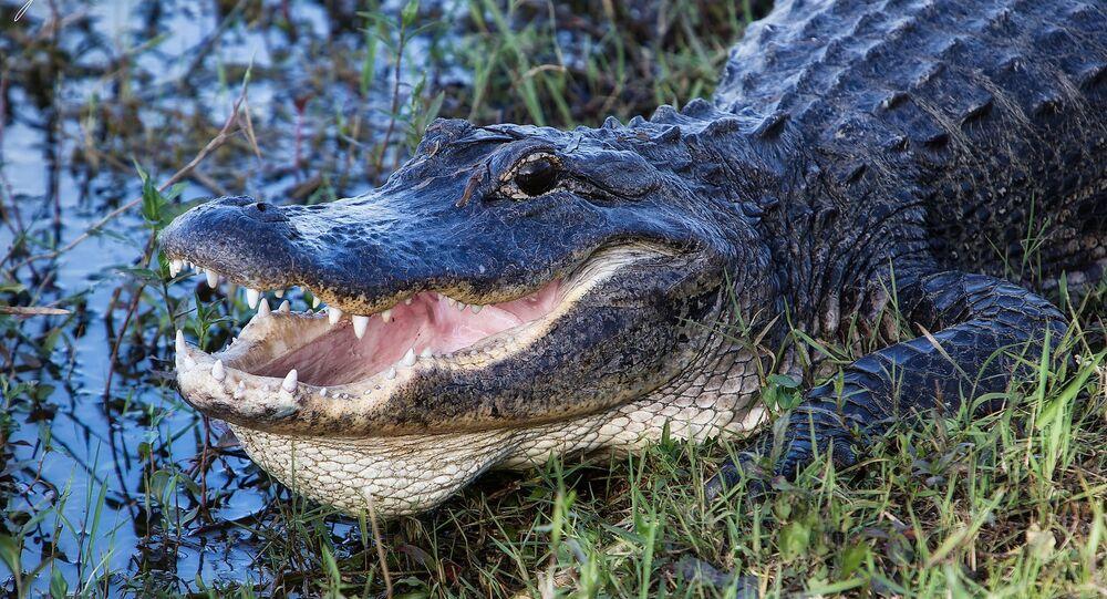 Crocodilo na Flórida (imagem ilustrativa)