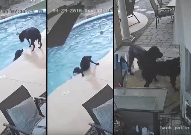 Cachorro mergulha em piscina para salvar amigo