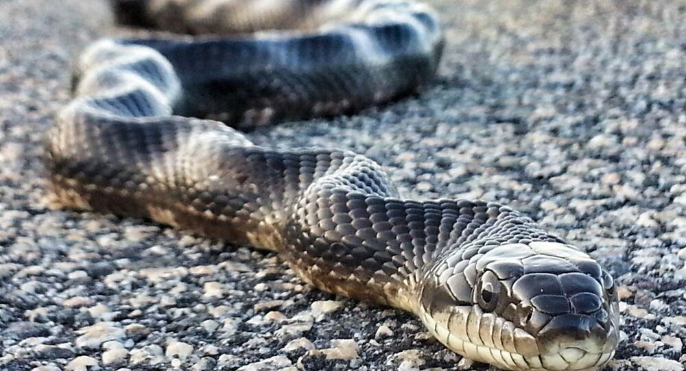 Cobra Rato (Pantherophis obsoletus)