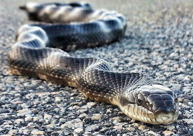 Cobra na estrada (imagem referencial)