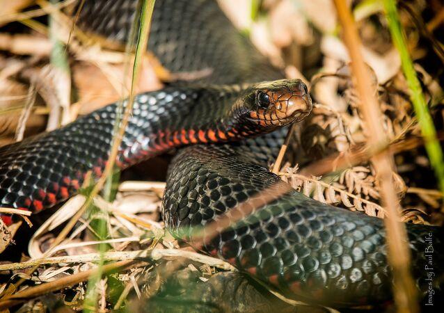 Cobra negra de barriga vermelha (imagem referencial)