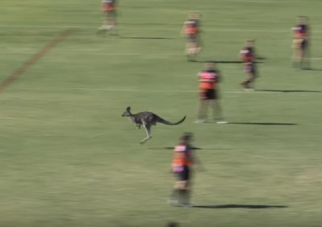 Canguru interrompe partida de rúgbi na Austrália