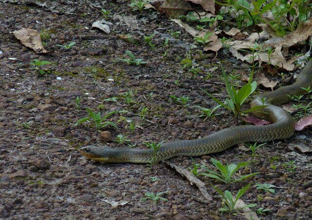 Cobra caninana (Pseustes sulphureus) (imagem referencial)