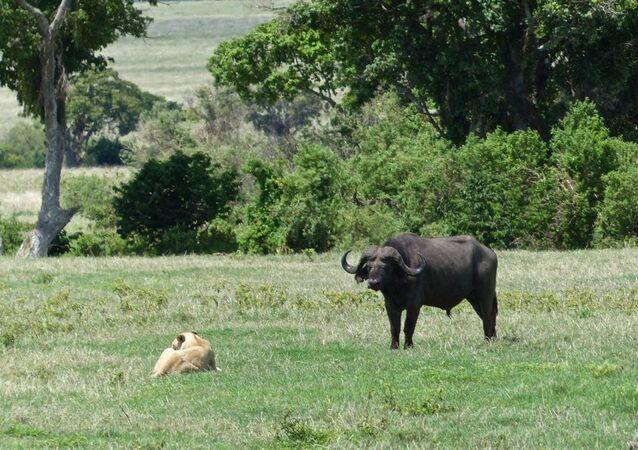 Búfalo e leão (imagem referencial)